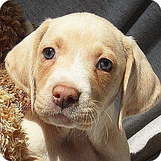 Labrador Retriever/Australian Shepherd Mix Puppy for adoption in Huntley, Illinois - Adrian