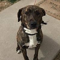 American Staffordshire Terrier/Black Mouth Cur Mix Dog for adoption in Fulton, Missouri - Tank-Nebraska_
