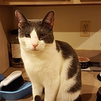 Adopt A Pet :: Catterpie - Columbia, MD
