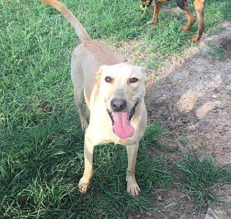 Labrador Retriever/Bull Terrier Mix Dog for adoption in Jacksonville, Texas - GiGi