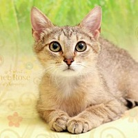 Adopt A Pet :: Hannah - Sterling Heights, MI