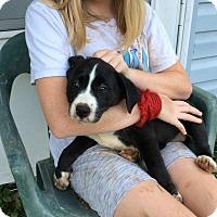 Adopt A Pet :: Josie Adopted! - Brattleboro, VT