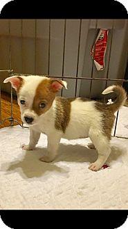 Corgi/Mixed Breed (Small) Mix Puppy for adoption in Carson, California - TIPSY