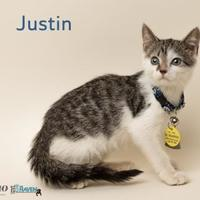 Domestic Shorthair/Domestic Shorthair Mix Cat for adoption in Fairhope, Alabama - Justin Kelly