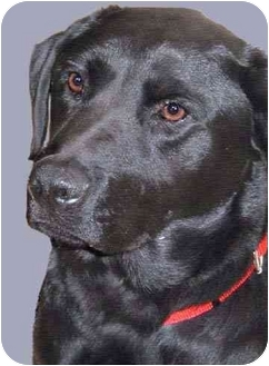 Labrador Retriever Mix Dog for adoption in Grass Valley, California - Tober
