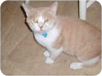 Domestic Shorthair Cat for adoption in Hamburg, New York - Einstein