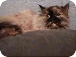 Himalayan Cat for adoption in Seattle, Washington - Soko