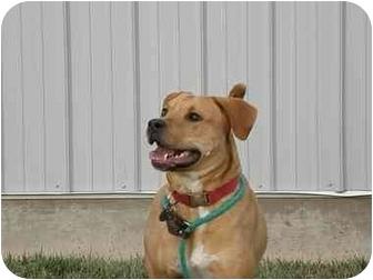 Labrador Retriever Mix Dog for adoption in Meridian, Idaho - Ruby