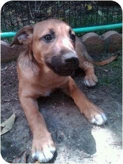 Shepherd (Unknown Type)/Labrador Retriever Mix Puppy for adoption in Los Angeles, California - Derek's Pup