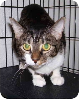Domestic Shorthair Cat for adoption in Somerset, Pennsylvania - Taylor