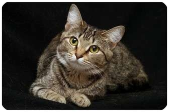 Domestic Shorthair Cat for adoption in Sterling Heights, Michigan - Fate - ADOPTED!