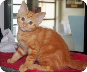 Domestic Shorthair Kitten for adoption in San Clemente, California - WAFFLES