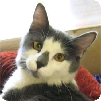 Ragdoll Cat for adoption in Weatherford, Texas - Izzy