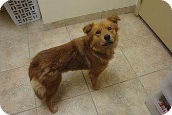 Finnish Spitz Mix Dog for adoption in Kirby, Texas - Savannah
