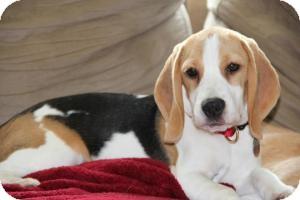 Beagle Puppy for adoption in Yardley, Pennsylvania - Angelina