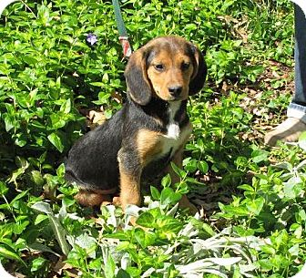 Hound (Unknown Type) Mix Puppy for adoption in Oakland, Arkansas - Sola