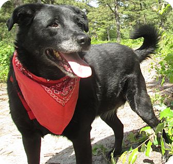 Labrador Retriever Mix Dog for adoption in Forked River, New Jersey - Sissy
