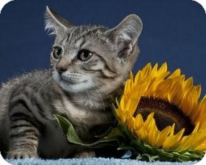 Domestic Shorthair Kitten for adoption in Wayne, New Jersey - Higgins