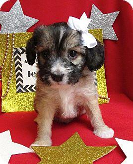 Havanese/Cockapoo Mix Puppy for adoption in Irvine, California - Jean Harlow