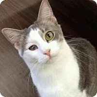 Domestic Shorthair Cat for adoption in Pineville, North Carolina - Archie