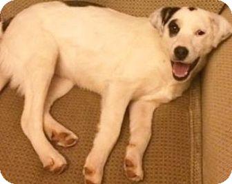 Australian Shepherd/Collie Mix Dog for adoption in Briarcliff Manor, New York - Ready Fri. Mar.  6th