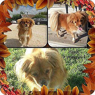 Papillon Mix Dog for adoption in San Antonio, Texas - Misty