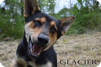 Husky/Rottweiler Mix Dog for adoption in Texarkana, Arkansas - Glacier