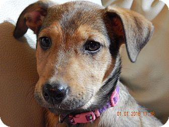 German Shepherd Dog/Black Mouth Cur Mix Puppy for adoption in Knoxville, Tennessee - Princess Leia