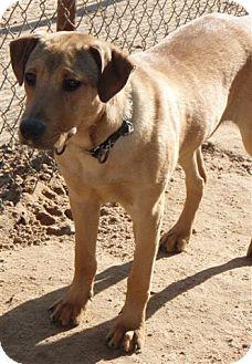 American Bulldog/Bullmastiff Mix Dog for adoption in San Antonio, Texas - Copper