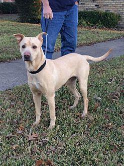 Labrador Retriever/Pit Bull Terrier Mix Dog for adoption in Dallas, Texas - Dixie Lab
