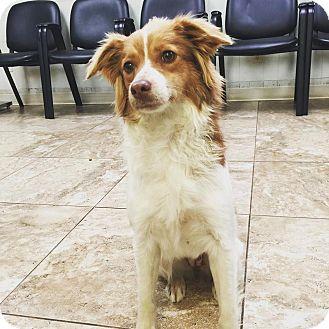 Border Collie Mix Dog for adoption in Overland Park, Kansas - Sally
