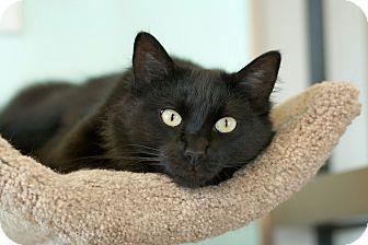 Domestic Mediumhair Cat for adoption in Coronado, California - Lauren