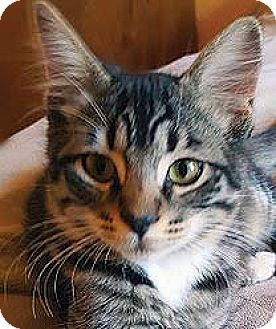 Domestic Shorthair Cat for adoption in Tiburon, California - Zack