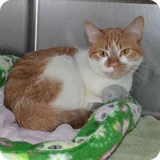 Domestic Shorthair Cat for adoption in Wheaton, Illinois - Lisa
