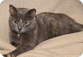 Calico Cat for adoption in Marietta, Ohio - Josie (Pregnant)