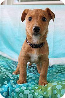Airedale Terrier/Dachshund Mix Puppy for adoption in Staunton, Virginia - Hallie