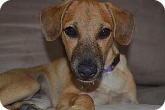 Hound (Unknown Type)/Terrier (Unknown Type, Medium) Mix Puppy for adoption in Pittsburgh, Pennsylvania - Bilbo Beggins'