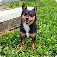 Adopt A Pet :: Pickles - Whitehall, PA