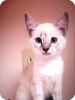 Siamese Kitten for adoption in North Wilkesboro, North Carolina - Liberty