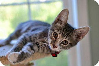 American Shorthair Cat for adoption in Poughkeepsie, New York - Wilbur
