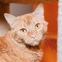 Adopt A Pet :: Devon - Mission Hills, CA