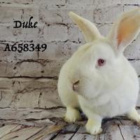 Adopt A Pet :: *DUKE - Camarillo, CA