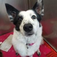 Adopt A Pet :: Daisy - Aberdeen, SD
