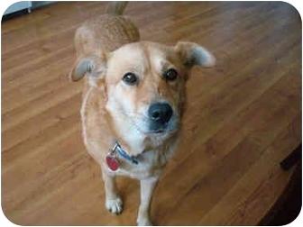 German Shepherd Dog/Labrador Retriever Mix Dog for adoption in Portsmouth, Rhode Island - Sierra