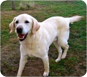 Labrador Retriever Dog for adoption in Portland, Oregon - Larry