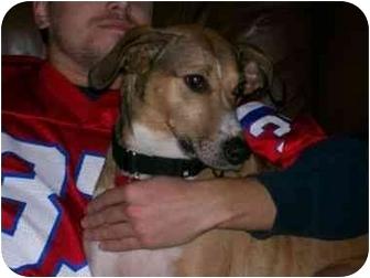 Sheltie, Shetland Sheepdog/Collie Mix Dog for adoption in Mount Kisco, New York - Katie