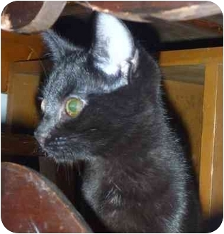 Domestic Shorthair Kitten for adoption in San Ramon, California - Ciabatta