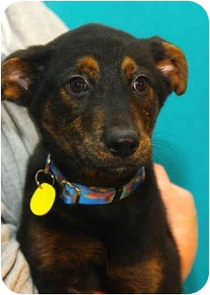 Shepherd (Unknown Type) Mix Puppy for adoption in Westminster, Colorado - CERULEAN