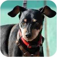 Miniature Pinscher Dog for adoption in Denver, Colorado - Jackson