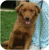 Golden Retriever Mix Dog for adoption in Portland, Maine - Ruby